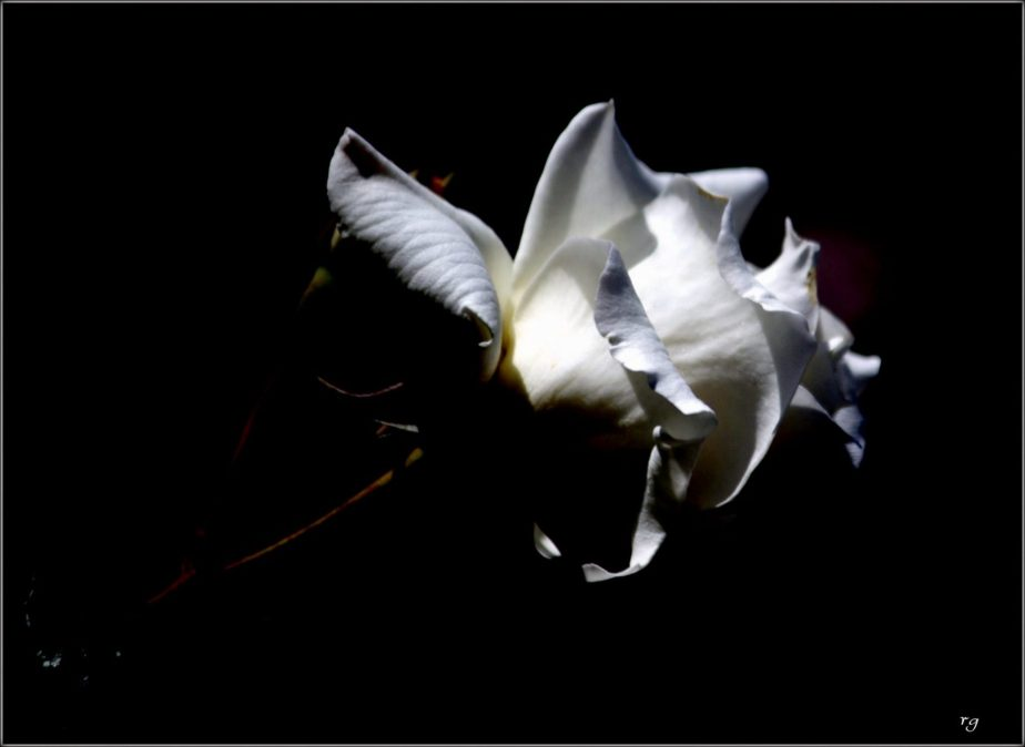 Heavily prosessed high contrast photo of a White Rose