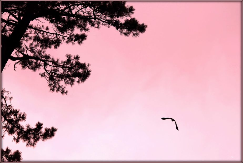 Photograph of a bird in flight against a pink sky.