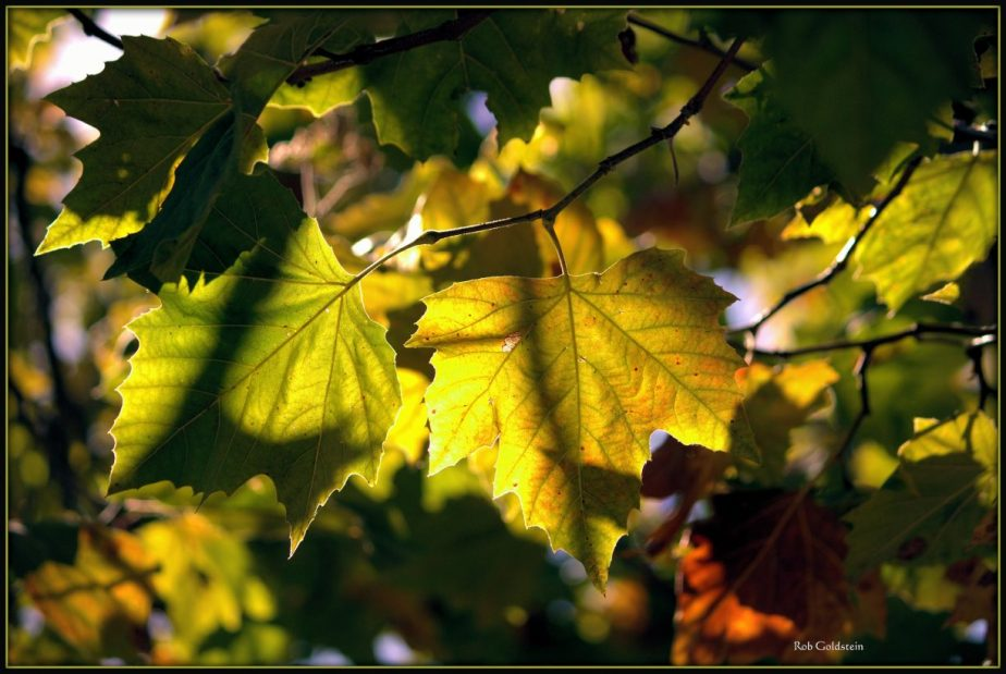 A photograph of Fall Leaves by Rob Goldstein