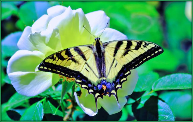 Photograph of a Monarch Butterfly