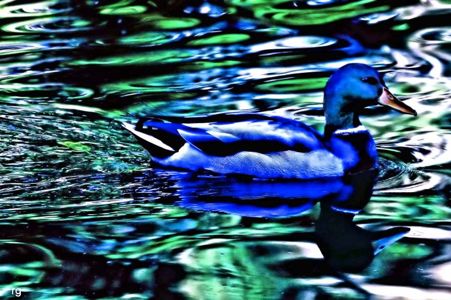 A highly daturated digital photograph of a blue duck on rippling green water