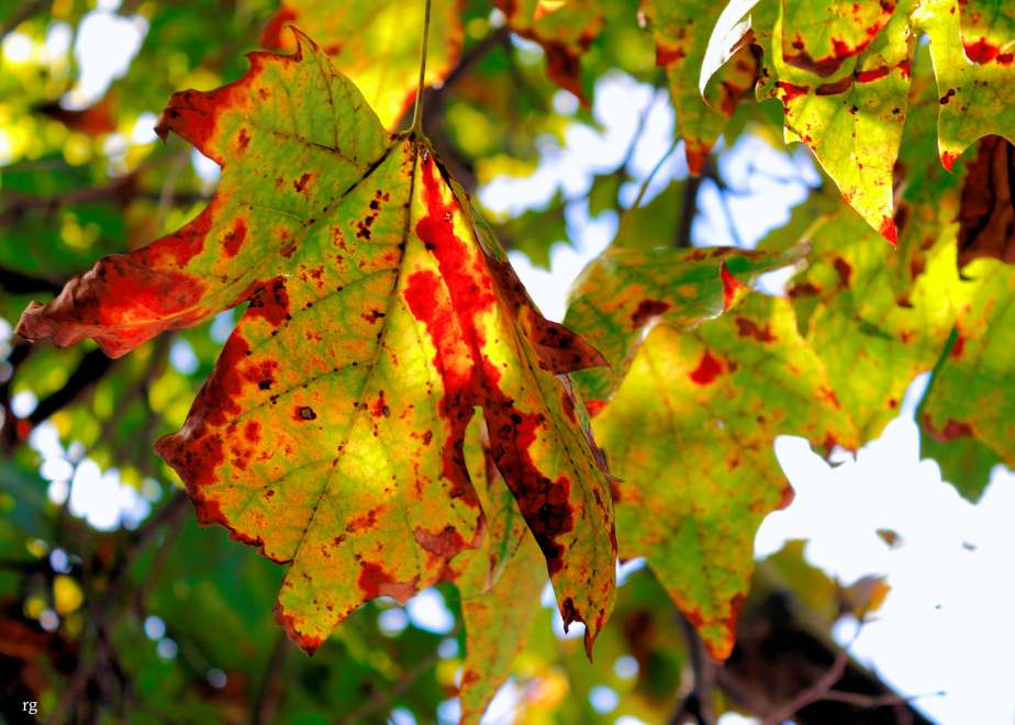 A photograph of  fall leaf still on the tree