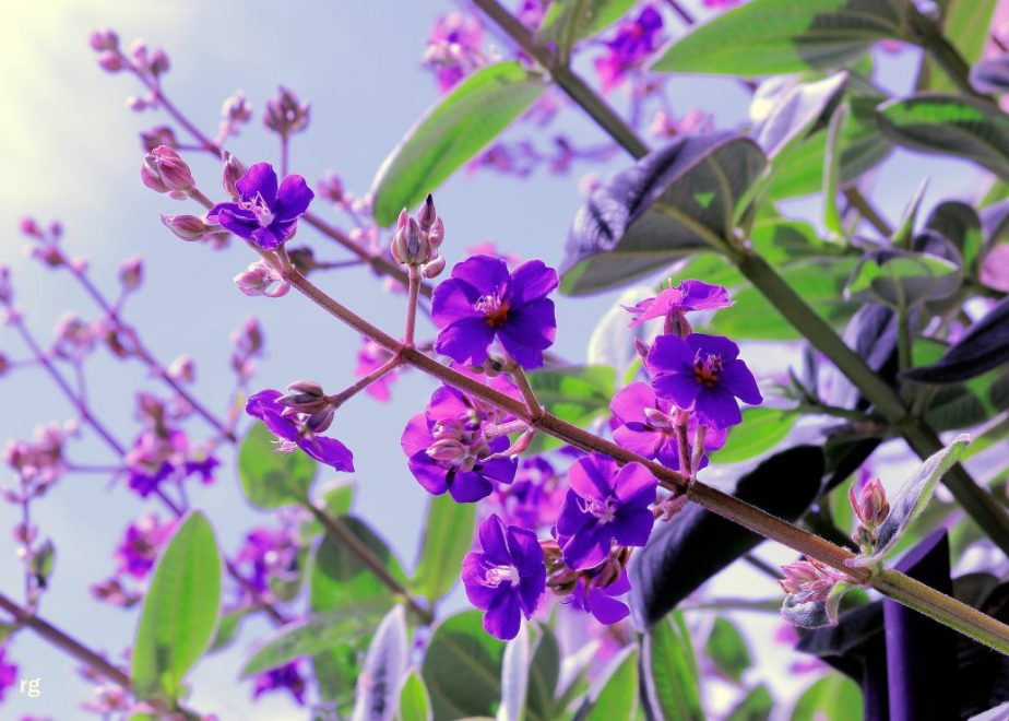 Photo of purple flowers against a blue sku