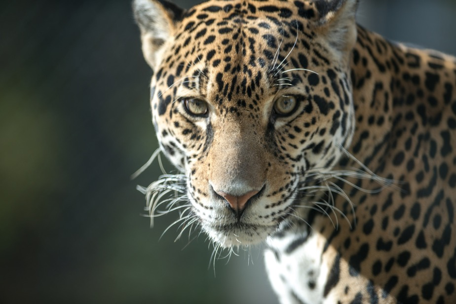Help to GoFund new Jaguar-Related Research