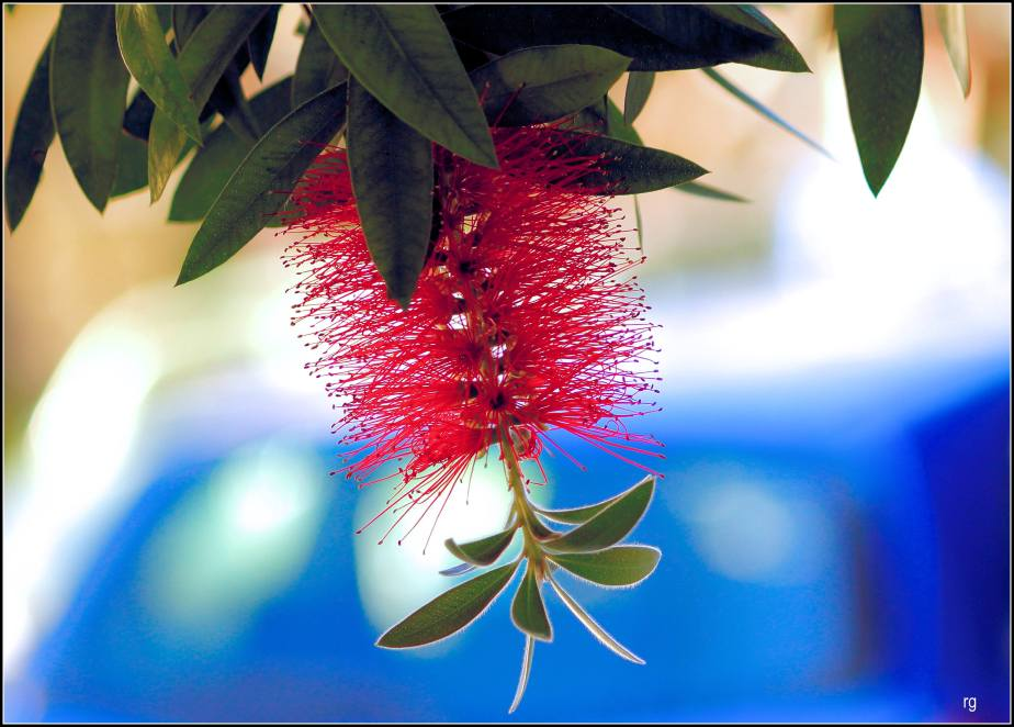 Photograph of a bottle-brush blossom in San Francisco
