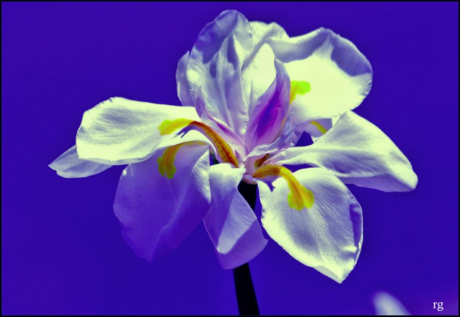 High contrast shot of an Iris against a dark blue background