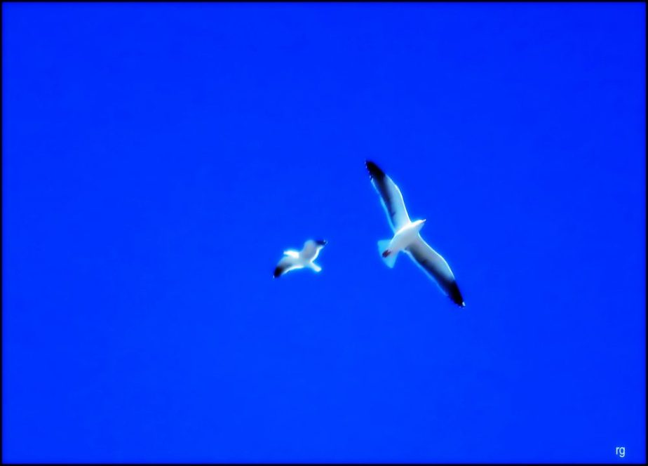 A photograph of two seagulls in flight against a deep blue sky