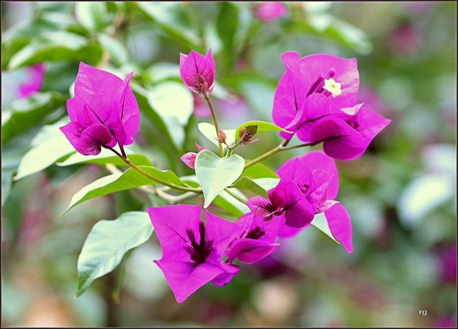 A November 2017 shot of purple Bougainvillea on Fell Street in San Francisco
