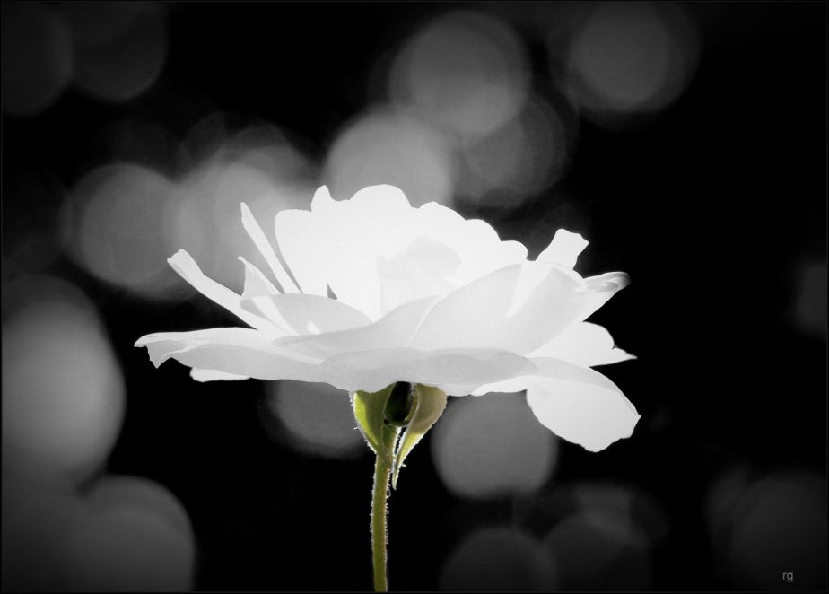 Stark Black and White photo of a white rose
