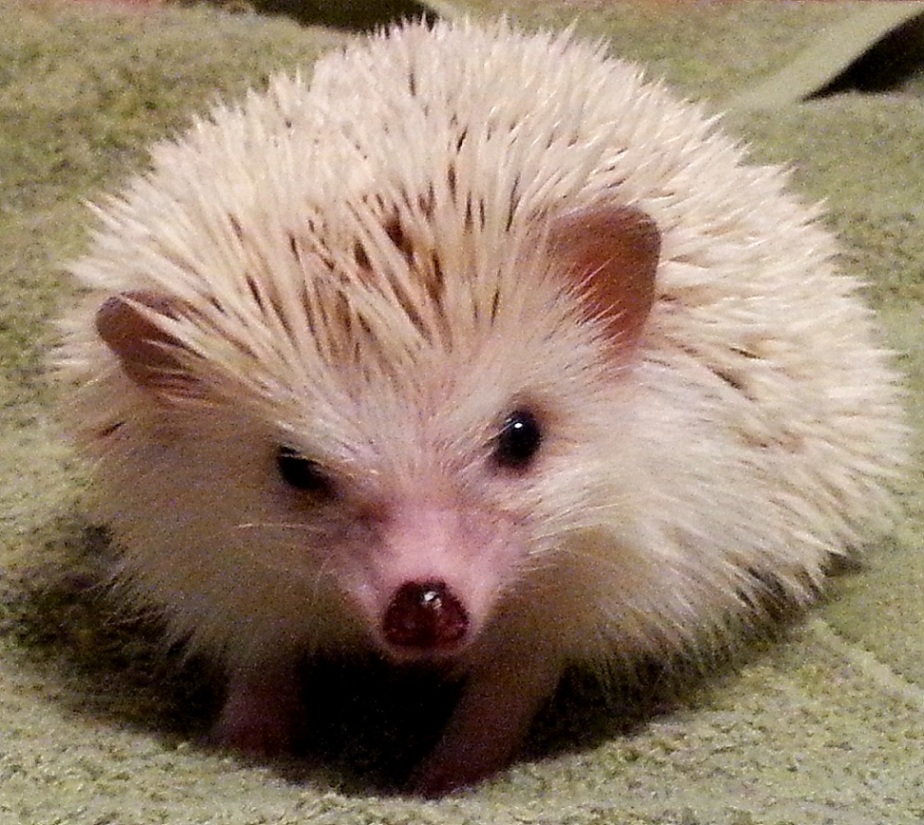 Hank the Hedgehog