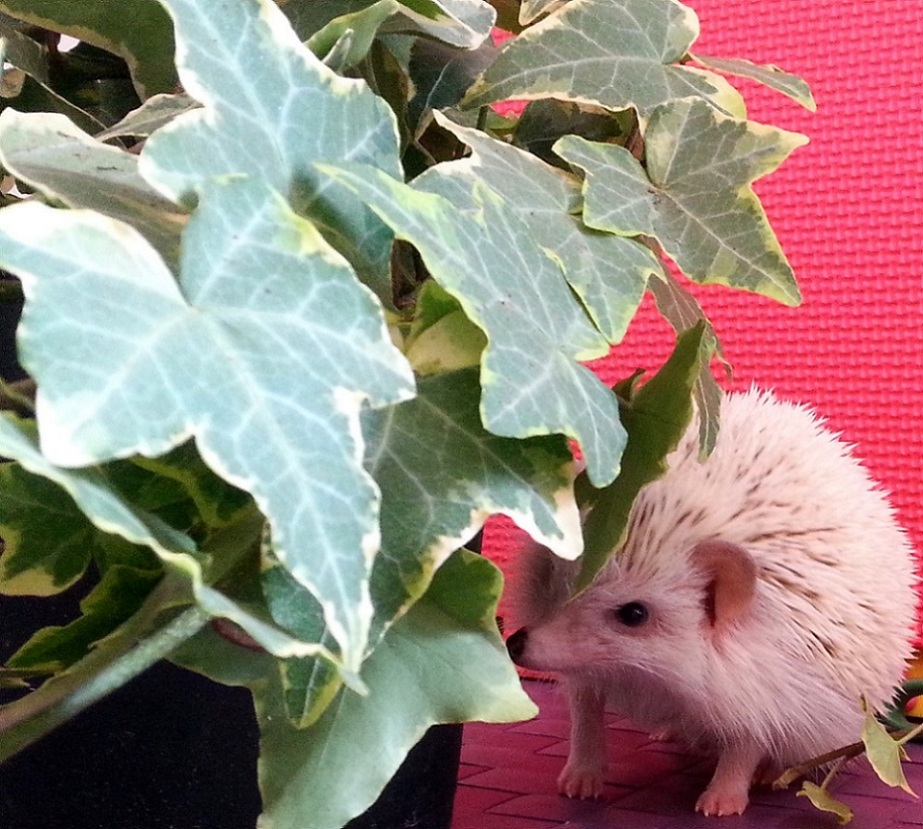 Photograph of a hedgehog next to a potted plant