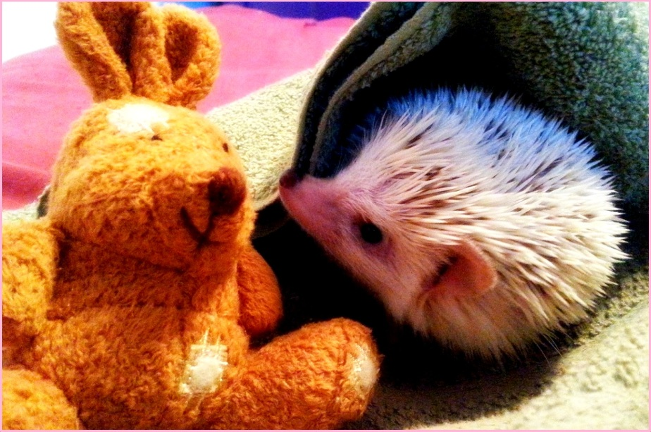 Header Photo of Danica's Pet Hedgehog with a stuffed Bunny