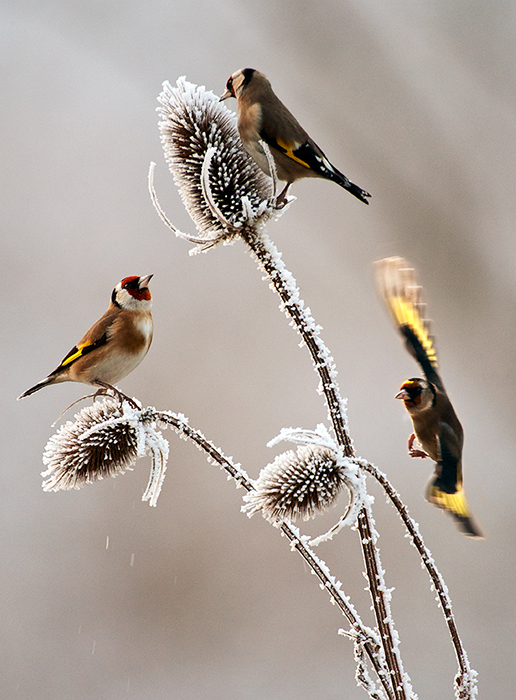 Goldfinches-on-frosty-teasel