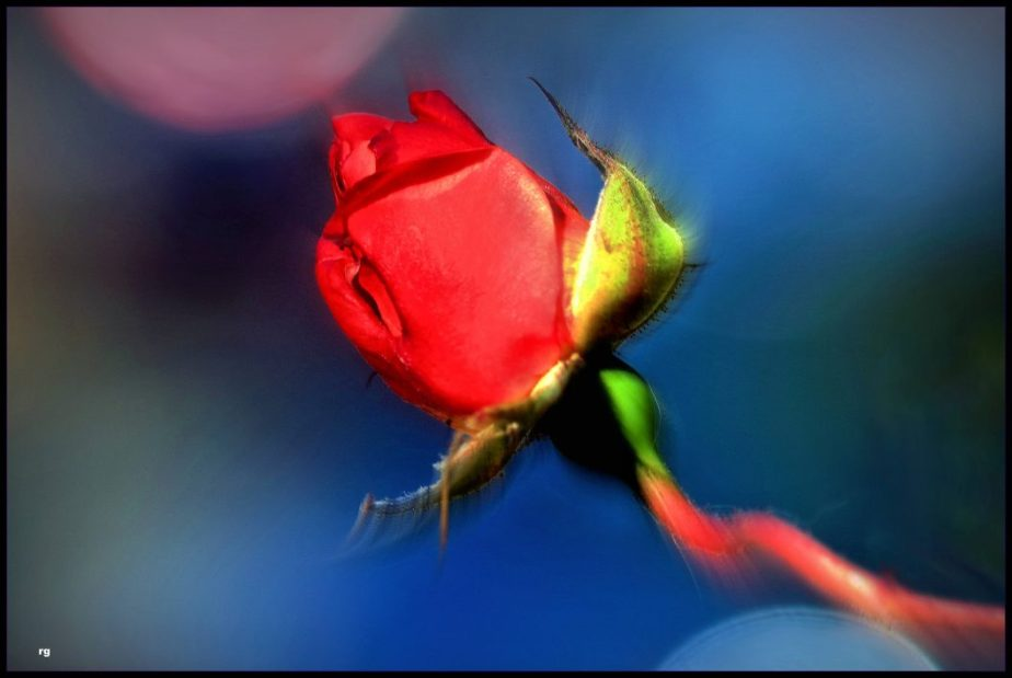 Macro shot of a bright red rosebud