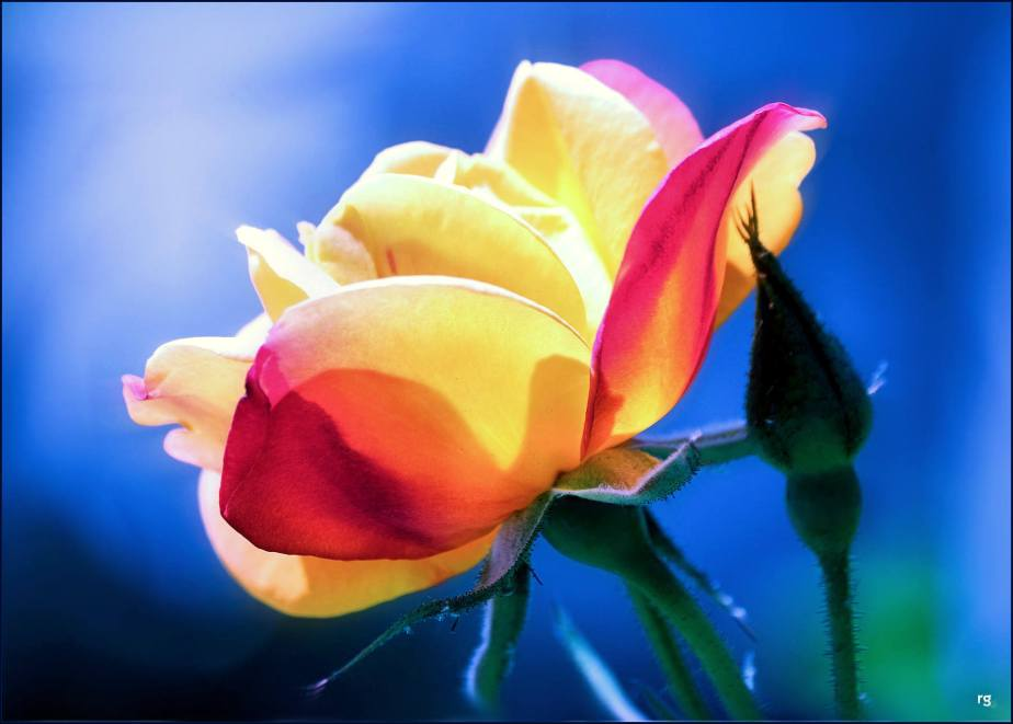 Photograph of a red and yellow rose against a blue background