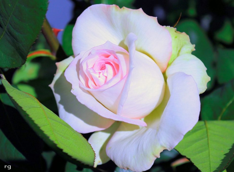 Digital Photograph of a pink and white rose