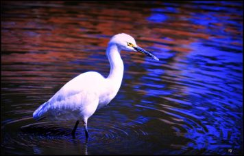 Photograph of a Stork in the water of Stow Lake, San Francisco
