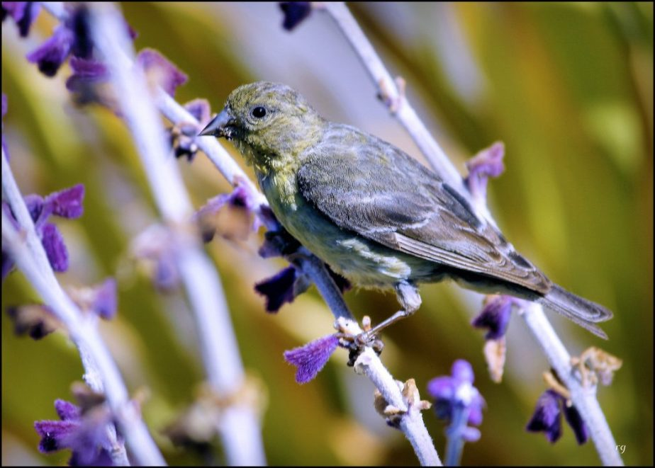 A photograph of a yellow bird among purple flowers