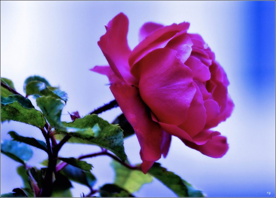 A 2012 Photograph of a red rose