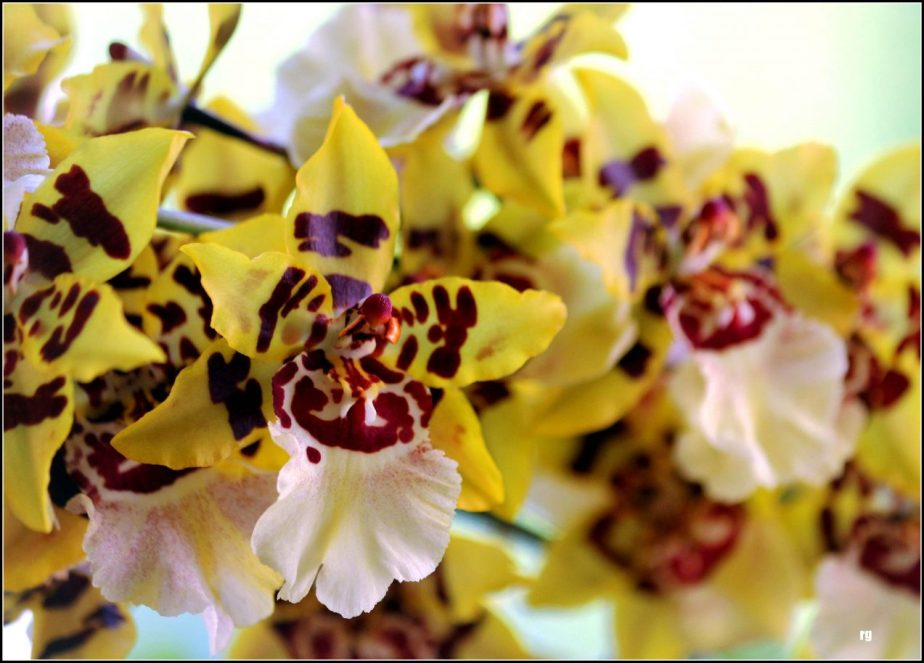 Photograph of yellow and red orchid blossoms