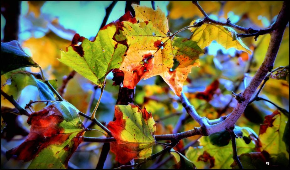 A color enhanced photograph of Fall leaves in San Francisco