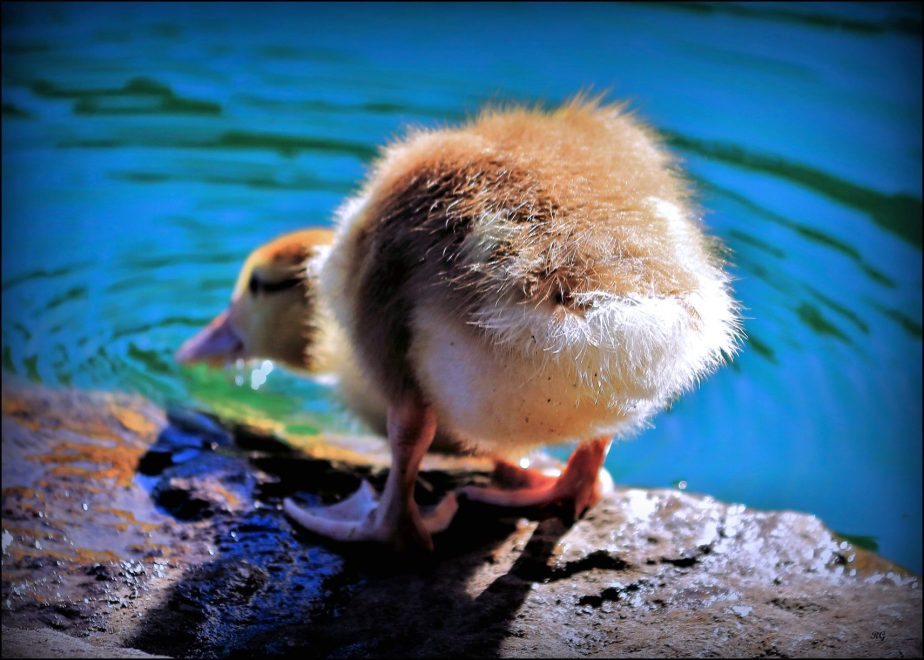 Photograph of a yellow duckling in Golden Gate park
