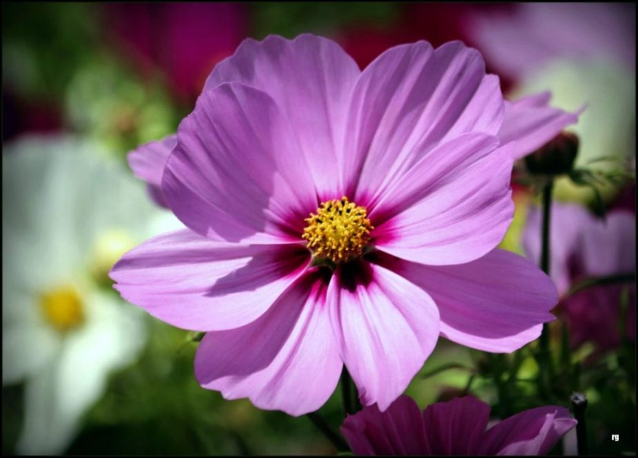 Photograph of an Aster flower