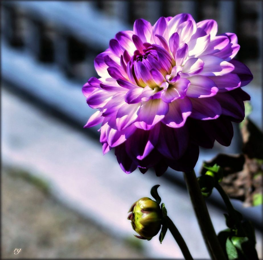 Cee's Flower of the Day – August 3, 2019: Dahlia