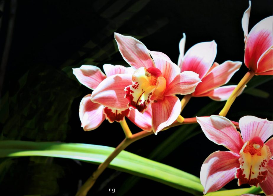 A photograph of the Boat Orchid