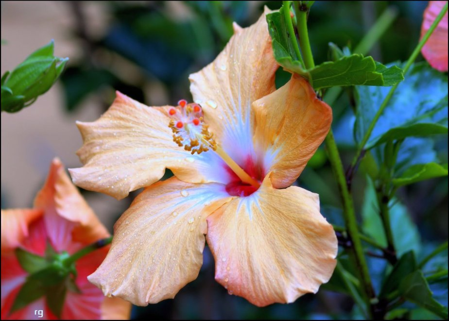 Photograph of a Hibiscus Flower