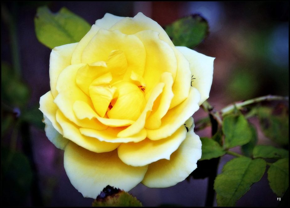 Photograph of a deep yellow rose