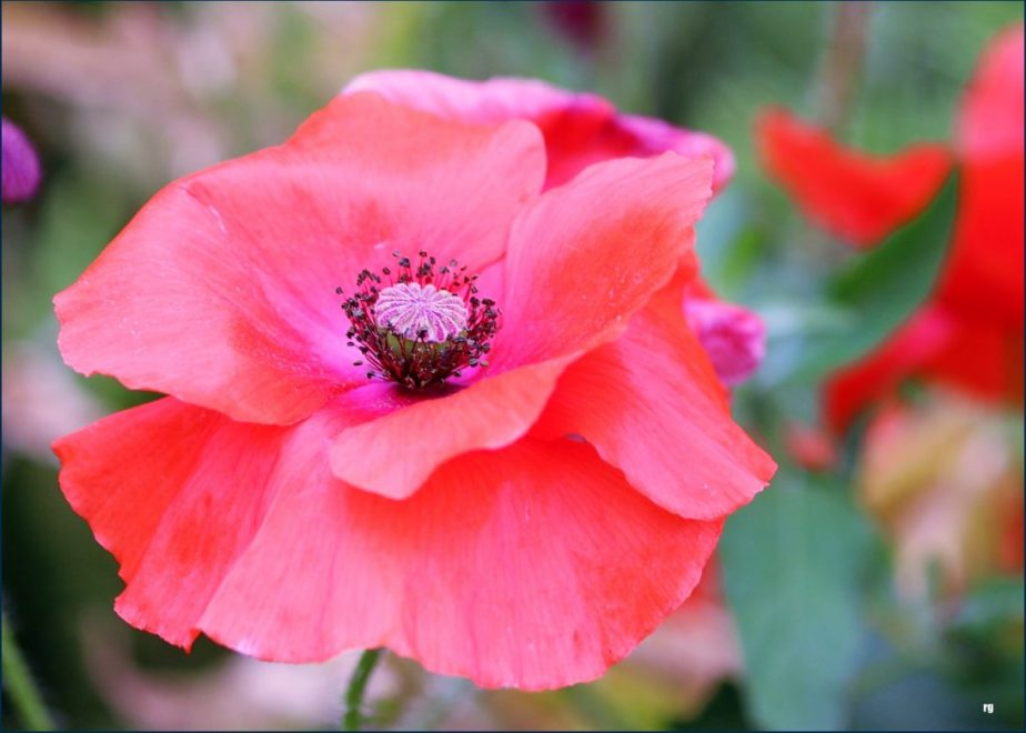 Photograph of a red poppy