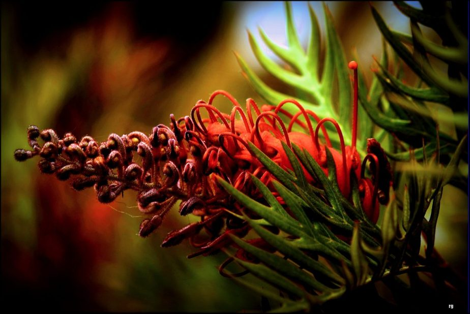 A macro shot of a red bottlebrush blossom