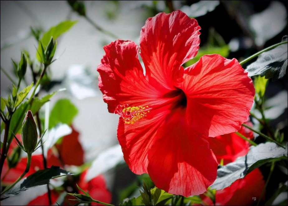 Photograph of the Red Hibiscus Flower