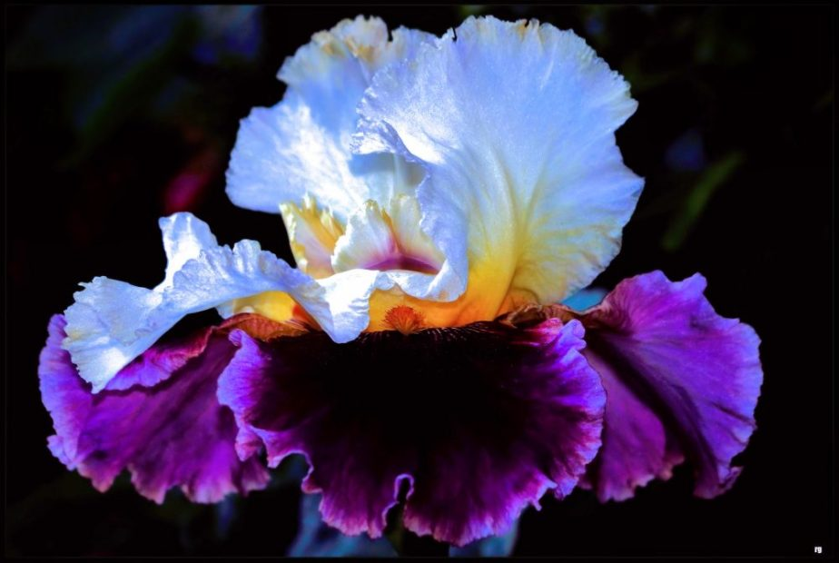 Cee's Flower of the Day: The Iris Flower