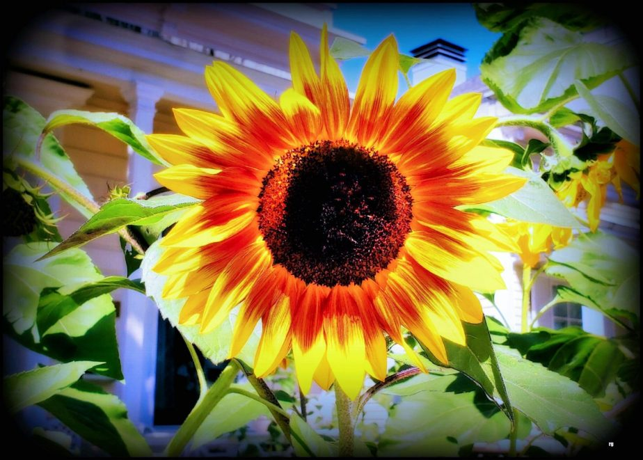 Photograph of a sunflower